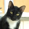male sweet cat adopt home love foster
