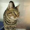 brown tabby gray tabby stray feral lost found cat