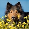 dog sheltie flowers