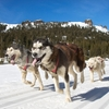 sled dogs snow winter
