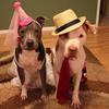 Halloween dog pit bull costume
