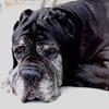old dog mastiff