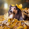shetland sheepdog sheltie autumn leaves