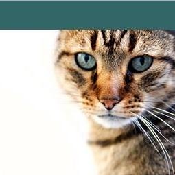 radioactive iodine therapy hyperthyroidism feline