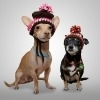 dog, winter, hat, chihuahua, cold, warm