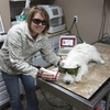 Class IV laser therapy dog, double arrow vet