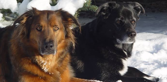 Kodiak and Oso - senior dogs relaxing in the snow