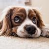 sad dog on floor