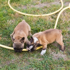 puppies chewing on a hose