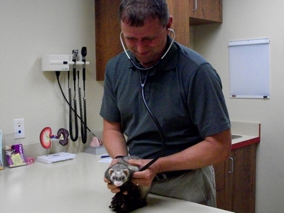 Dr. Rommel examines a ferret