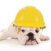 bulldog wearing hard hat
