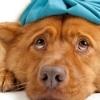 canine flu,dogs,flu,dog flu,CIV,H3N2,H3N8,vaccine