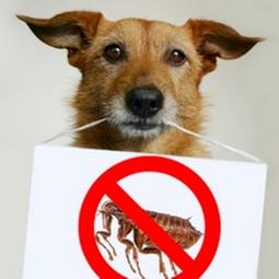 dog no fleas