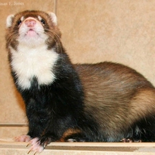 Dublin, a ferret with food allergies!