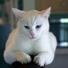 Cat, Feline