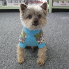 Yorkie in little sweater