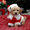 christmas puppy, x mas puppy, holliday puppy