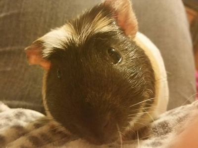 iLean the guinea pig