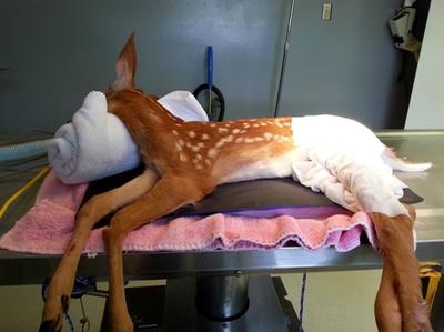 Baby Deer Surgery