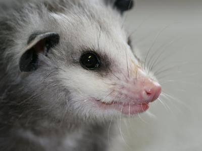Rescued Opossum Baby