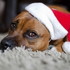 Holiday Pet Dangers.  Big Lick Vet