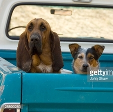 dog in back of pick up