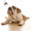 mosquito and dog