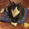 SHAMROCK CAT