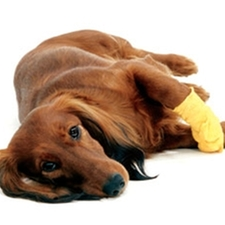 bandage,wound,dachshund,emergency,cut,pain,limping