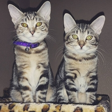 kitten,cat,saddleback,vet,veterinary,cute,cats