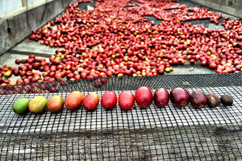 Cherries lined up showing ripeness 2