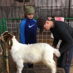 4-H Students preparing for Livestock Show