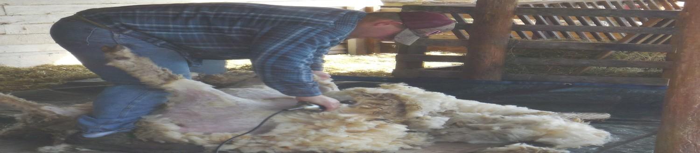 Sheep shearing 2015 04 04 005