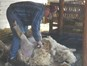 Sheep shearing 2015 04 04 005