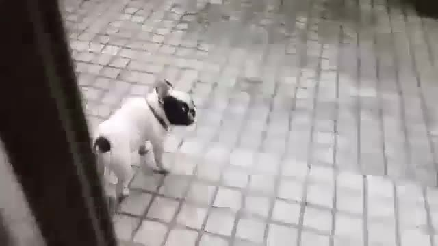 French Bulldog Playing in the Rain