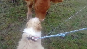 Watch This Cute Video of a Puppy Trying To Play With a Young Cow!