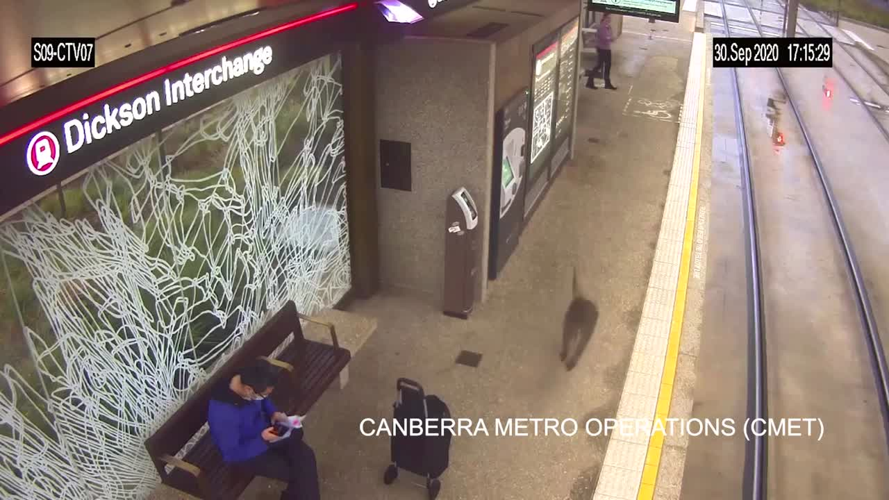 Kangaroo hops into view on rail platform