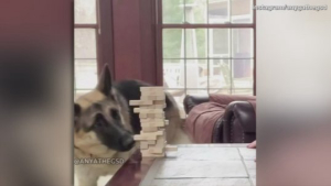 This German Shepherd Is Better at Playing This Game Than You