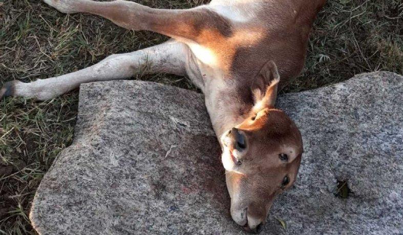 Apesar dos cuidados, animal morreu cinco dias após o nascimento; caso é raro, diz veterinário