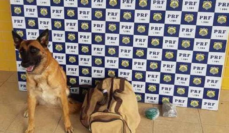 Cão farejador encontra drogas em ônibus de turismo na BR-116