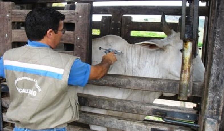 A Bahia é zona livre da Aftosa há 22 anos e, a cada etapa, tem alcançado uma maior cobertura de vacinação.