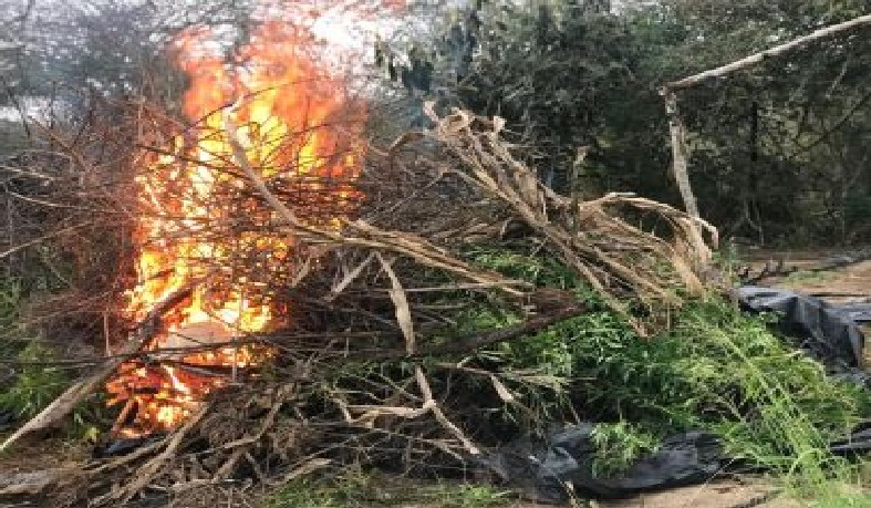 A maior parte da droga foi incinerada no próprio terreno e o restante apresentado na Delegacia Territorial (DT) de Campo Formoso.