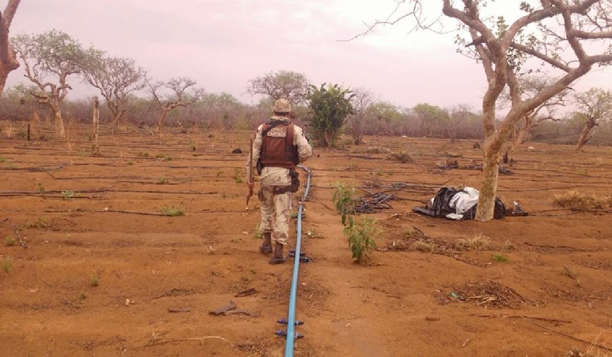 Policia descobriu o local utilizado para o cultivo da erva, na região conhecida como Pau de Colher.