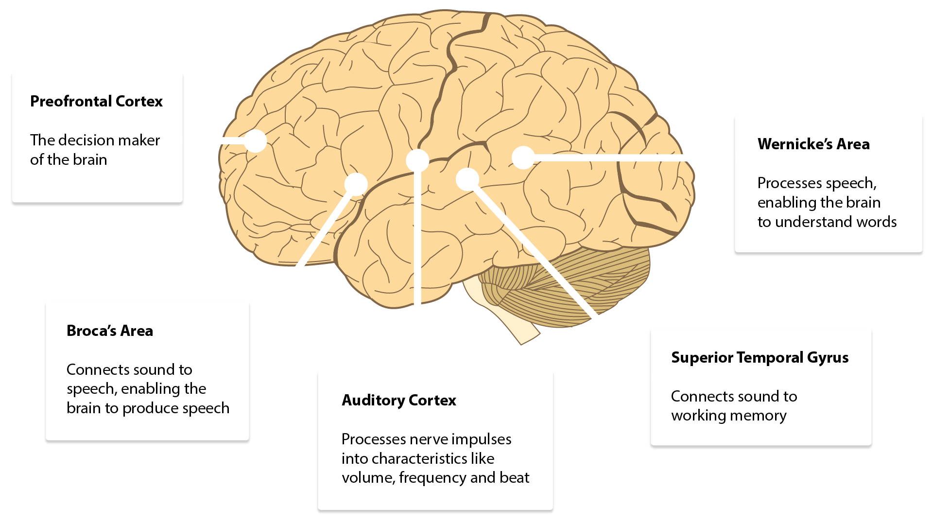 Areas of the brain that respond to sound