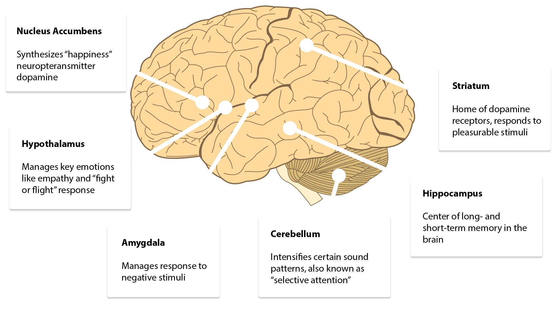 Areas of the brain that interpret sound