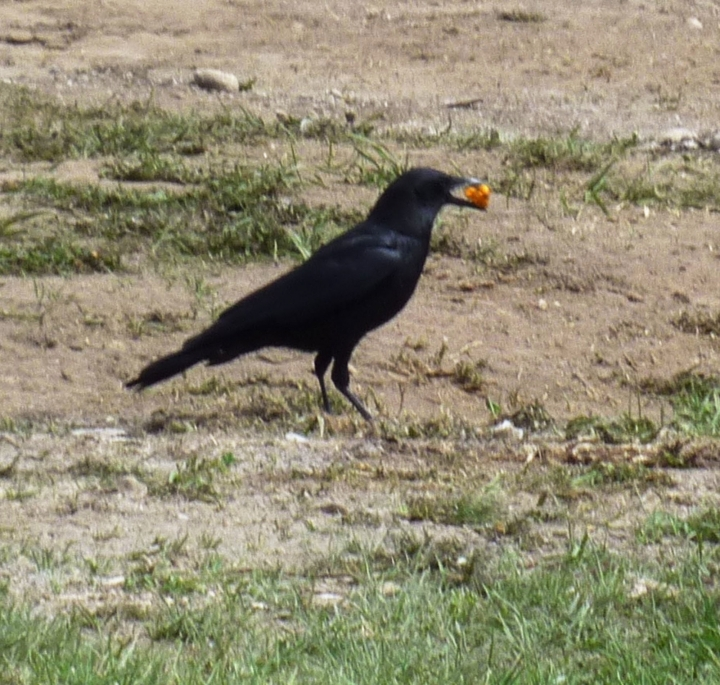 This undated photo provided by researcher Rhea Esposito on Thursday, Aug. 11, 2016 shows a crow holding a cheese flavored snack in Jackson Hole, Wyo., during an experiment to see how two types of smart birds_ smaller magpies and bigger crows _ compete for food. Traditional bait food, nuts and seeds, were hard to see for Esposito, who would watch from about 20 feet away. The magpies turned out to be quicker and more daring. When crows learned that the orange snacks were tasty, they stole them from the magpie. (Rhea Esposito via AP)