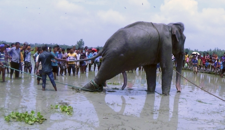 Bangladeshi villagers gather as wildlife experts attend to a fully grown Indian elephant that washed up in a swamp after being caught up in raging floodwaters in Jamalpur district, some 150 kilometers (94 miles) north of Dhaka, Bangladesh, Sunday, Aug.14, 2016. Floodwaters carried the male elephant thousands of kilometers (miles) from upstream India before he became trapped in the swamp some three weeks ago. Wildlife officials are trying to move the elephant to a safari park outside Bangladesh's capital.(AP Photo)
