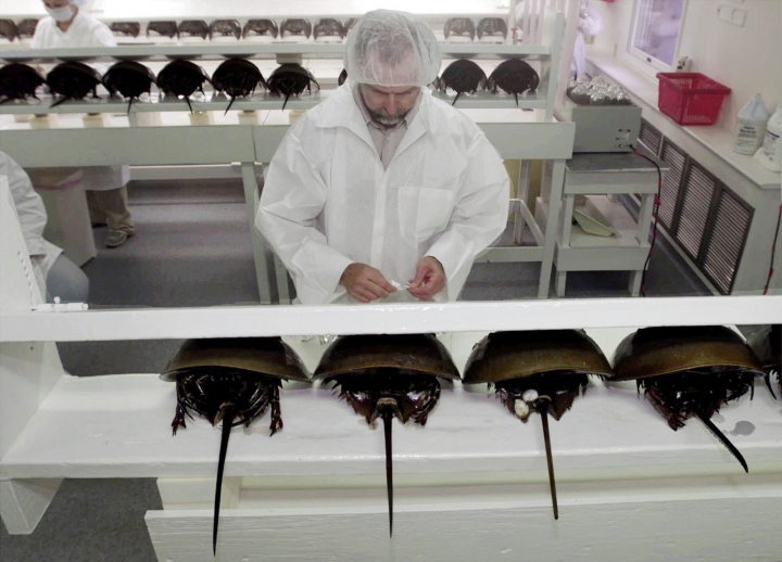 FILE - In this Aug. 1, 2000 file photo, technician Tom Bentz prepares a group of horseshoe crabs for bleeding at a lab in Chincoteague Island, Va. Environmental regulators studying the harvesting of horseshoe crabs that are drained of some of their blood for biomedical use say they need to get a firmer handle on how many die as part of the process. The prehistoric-looking crabs typically are taken to labs, are drained of about a third of their blood and then are released alive into the same bodies of water where they were found, a spokeswoman for the commission said on Tuesday, Aug. 16, 2016. (AP Photo/Steve Helber, File)