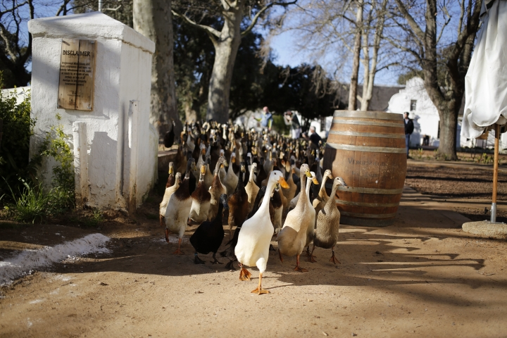 In this photo taken on Wednesday, Aug. 10, 2016, ducks make their way to a vineyard at the Vergenoegd wine estate on the outskirts of Stellenbosch, South Africa, This wine farm is winning praise from environmentalists for using Indian runner ducks instead of chemicals to eradicate pests like snails and bugs from its vineyards. (AP Photo/Schalk van Zuydam)
