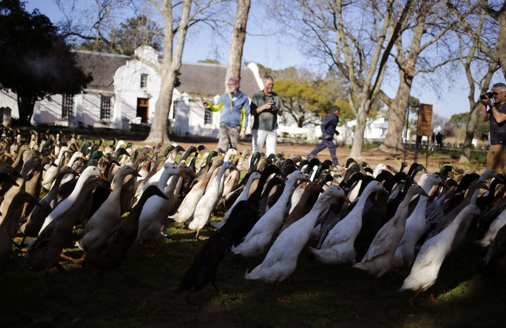 In this photo taken on Wednesday, Aug. 10, 2016, ducks being photographed, rear, by visitors to the Vergenoegd wine estate on the outskirts of Stellenbosch, South Africa, This wine farm is winning praise from environmentalists for using Indian runner ducks instead of chemicals to eradicate pests like snails and bugs from its vineyards. (AP Photo/Schalk van Zuydam)